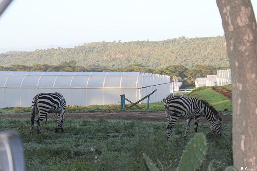 Vue sur les serres de la Bila Shaka Farm, dans la Rift Valley kenyane. On observe deux zèbres qui broutent devant une enfilade de serres.