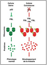 Ribosome_normal-vs-malade_200px.jpg